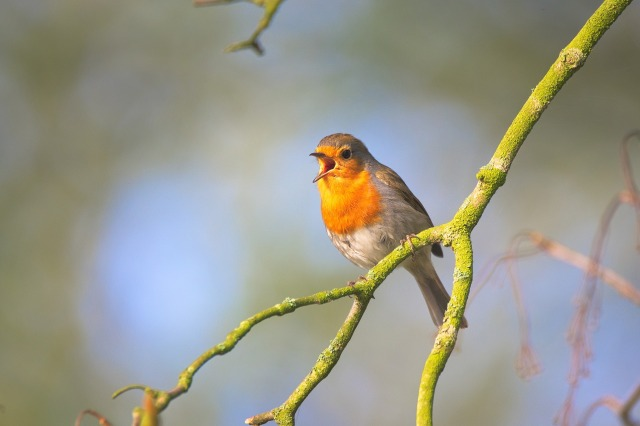 Le chant merveilleux d'un oiseau